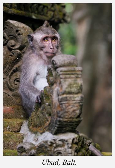 monkey-ubud-bali-indonesia