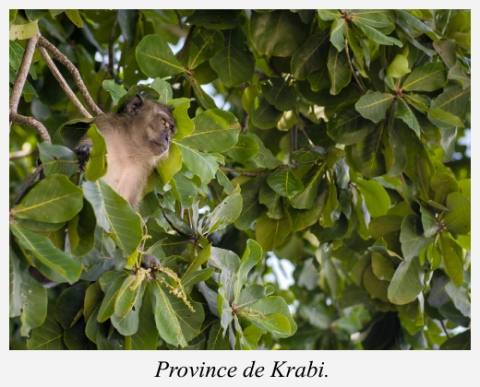 singe-krabi-thailande